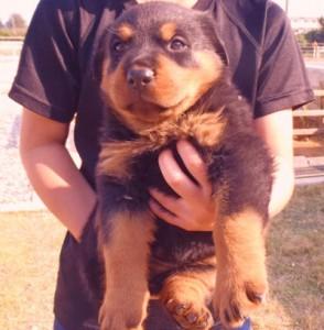 ロットワイラー ブリーダー 子犬販売の専門店 AngelWan 東京都内 神奈川県