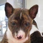 バセンジー ぶりーだー 子犬販売の専門店 AngelWan 横浜