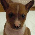 バセンジー ブリーダー 子犬販売の専門店 AngelWan 横浜