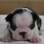ボストンテリア ブリーダー 子犬販売の専門店 AngelWan 横浜