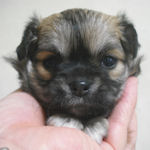 ロングコートチワワ ブリーダー 子犬販売の専門店 AngelWan 横浜
