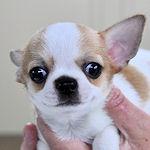 チワワ スムース ブリーダー 子犬販売の専門店 AngelWan 横浜