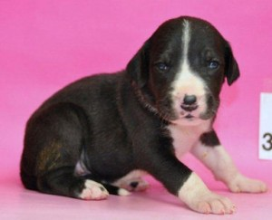 グレートデーン ブリーダー 子犬販売の専門店 AngelWan 日本全国対応可能 空輸