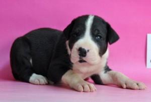 グレートデーン ブリーダー 子犬販売の専門店 AngelWan 超大型犬 ドイツタイプ