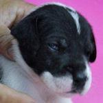 グレートデーン ブリーダー 子犬販売の専門店 AngelWan 横浜