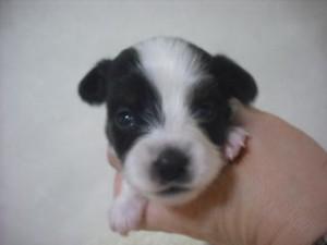 パピヨン ブリーダー 子犬販売の専門店 AngelWan 静岡県 長野県 山梨県
