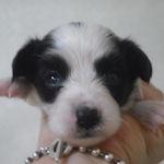 パピヨン ブリーダー 子犬販売の専門店 AngelWan 横浜市 港南区 中区 金沢区