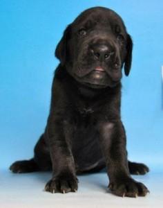 グレートデーン ブリーダー 子犬販売の専門店 AngelWan 横浜 湘南 川崎 町田