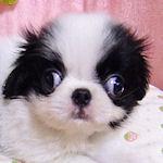 狆 ブリーダー 子犬販売の専門店 AngelWan 横浜