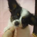 パピヨン ブリーダー 子犬販売の専門店 AngelWan 横浜