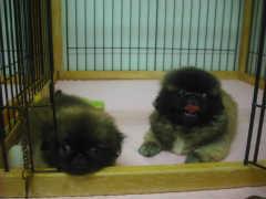 ペキニーズ ブリーダー 子犬販売の専門店 AngelWan 神奈川県 東京都 山梨 静岡