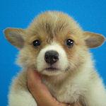 コーギー ブリーダー 子犬販売の専門店 AngelWan 横浜