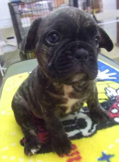 フレンチブルドッグ ブリーダー 子犬販売の専門店 AngelWan 全国対応可能