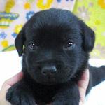 ラブラドールリトリーバー ブリーダー 子犬販売の専門店 AngelWan 横浜