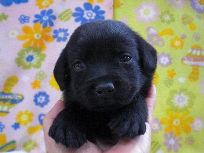 ラブラドールリトリーバー ブリーダー 子犬販売の専門店 AngelWan 横浜市 泉区