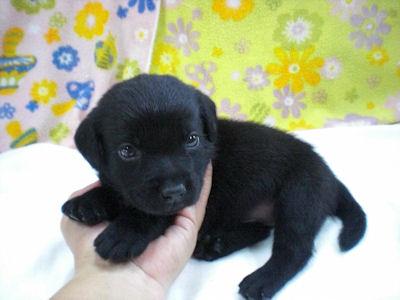 ラブラドールリトリーバー ブリーダー 子犬販売の専門店 AngelWan 全国対応可能