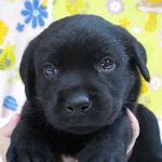ラブラドール・レトリーバー ブリーダー 子犬販売の専門店 AngelWan 横浜