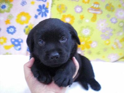 ラブラドール・レトリーバー ブリーダー 子犬販売の専門店 AngelWan ブラック 黒