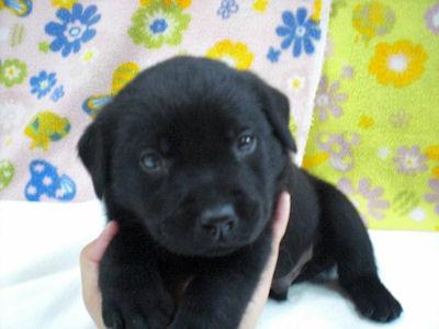 ラブラドール・レトリーバー ブリーダー 子犬販売の専門店 AngelWan 横浜市港北区