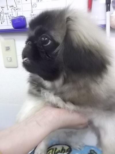 ペキニーズ ブリーダー 子犬販売の専門店 AngelWan 横浜市 港北区 旭区 南区