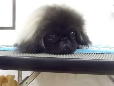 ペキニーズ ブリーダー 子犬販売の専門店 AngelWan 青森 秋田 山梨 長野 静岡