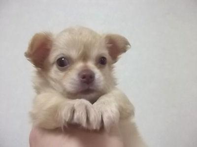 チワワ ブリーダー 子犬販売の専門店 AngelWan 横浜市 戸塚区 泉区 都筑区