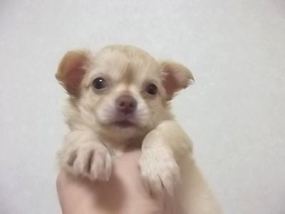 チワワ ブリーダー 子犬販売の専門店 AngelWan 青森 秋田 山形 新潟 長野