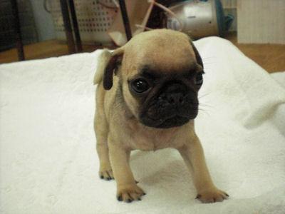 パグ ブリーダー 子犬販売の専門店 AngelWan 横浜市 戸塚区 泉区 港北区 栄区
