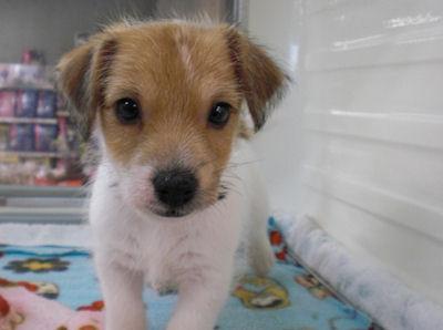 ジャックラッセルテリア ブリーダー 子犬販売の専門店 AngelWan 湘南 川崎 町田