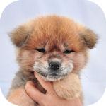 秋田犬 ブリーダー 子犬販売の専門店 AngelWan 横浜