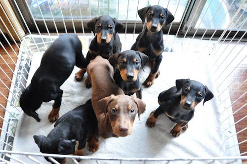 こちらを見つめるド―ベルマンの子犬たち