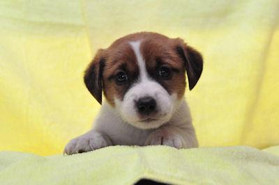 ジャックラッセルテリア ブリーダー 子犬販売の専門店 AngelWan 全国対応 空輸