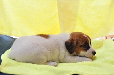 ジャックラッセルテリア ブリーダー 子犬販売の専門店 AngelWan アジリティ スポーツ