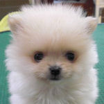ポメラニアン ぶりーだー 子犬販売の専門店 AngelWan 横浜