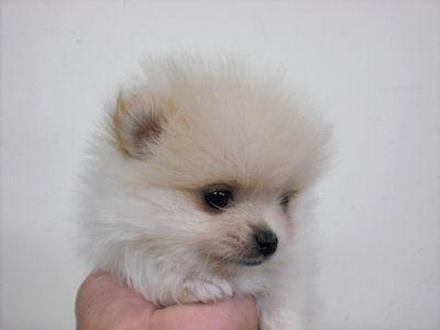 ポメラニアン ブリーダー 子犬販売の専門店 AngelWan 藤沢 鎌倉 逗子 葉山