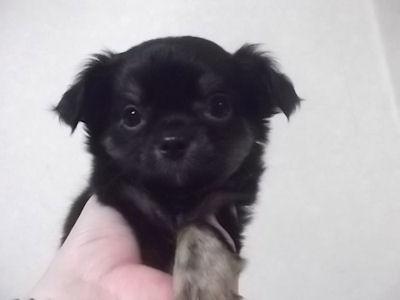 チワワ ブリーダー 子犬販売の専門店 AngelWan 湘南 川崎 相模原 町田 東京