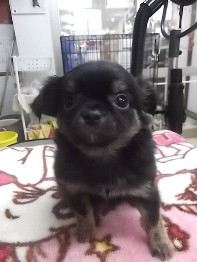 チワワ ブリーダー 子犬販売の専門店 AngelWan 秋田 青森 長野 岐阜 滋賀 三重