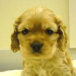 アメリカンコッカースパニエル ブリーダー 子犬販売の専門店 AngelWan 横浜