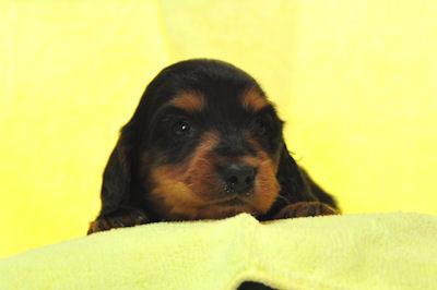 ミニチュアダックスフンド ブリーダー 子犬販売の専門店 AngelWan 湘南 川崎 町田