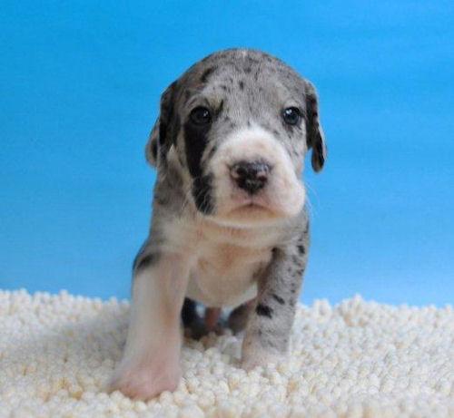 グレートデン ブリーダー 子犬販売の専門店 AngelWan 神奈川 東京 ペットショップ