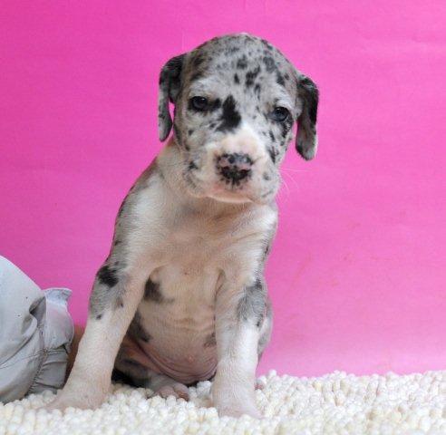 グレートデーン ブリーダー 子犬販売の専門店 AngelWan 兵庫 広島 大阪 愛知