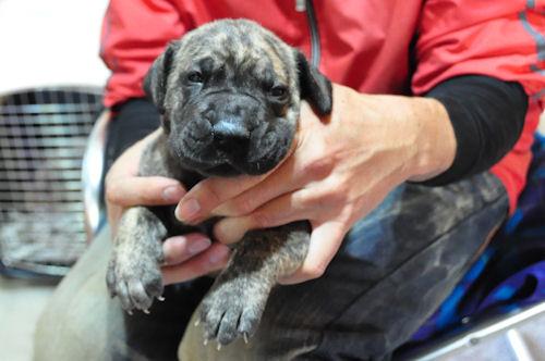 グレートデーン ブリーダー 子犬販売の専門店 AngelWan 大阪 広島 福岡 兵庫