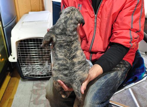 グレートデーン ブリーダー 子犬販売の専門店 AngelWan 東京 千葉 埼玉 神奈川