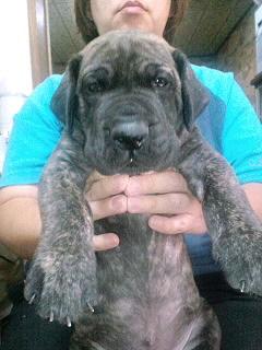 グレートデーン ブリーダー 子犬販売の専門店 AngelWan 横浜 全国対応 ペット