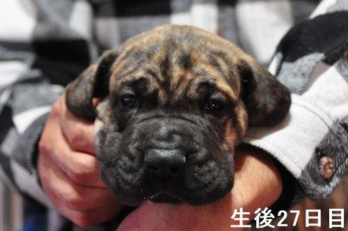 グレートデーン ブリーダー 子犬販売の専門店 AngelWan 横浜 ペットショップ