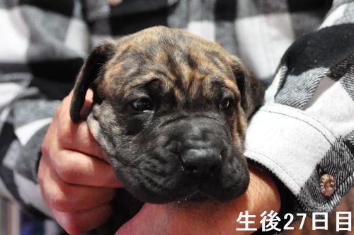 グレートデーン ブリーダー 子犬販売の専門店 AngelWan 広島 兵庫 大阪 福岡