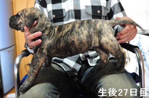 グレートデーン ブリーダー 子犬販売の専門店 AngelWan 愛知 兵庫 和歌山 京都