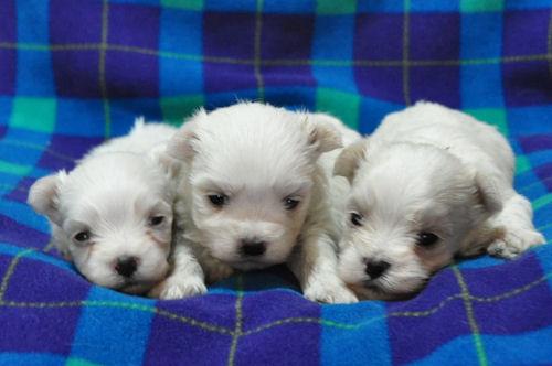 マルチーズ ブリーダー 子犬販売の専門店 AngelWan 全国対応可能 ANA JAL