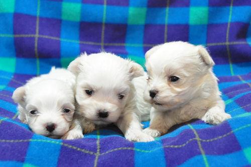 マルチーズ ブリーダー 子犬販売の専門店 AngelWan 赤ちゃん ペットショップ 横浜