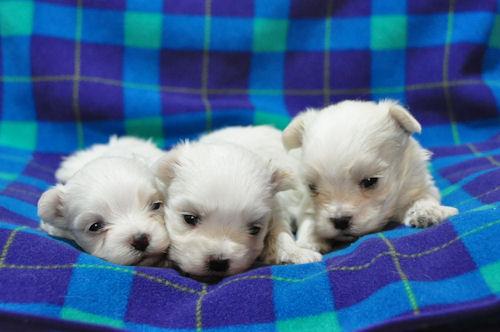 マルチーズ ブリーダー 子犬販売の専門店 AngelWan 横浜市 瀬谷区 横須賀市